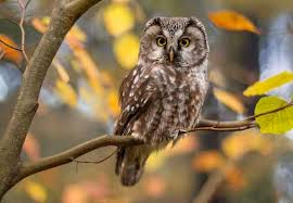 Owls of Pennsylvania